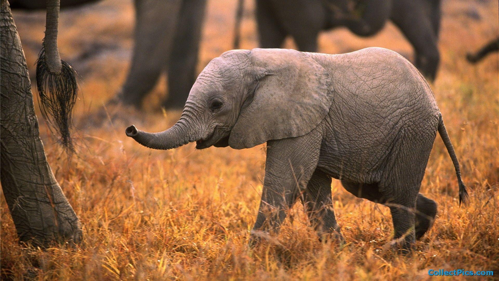 Baby Elephant Wallpapers