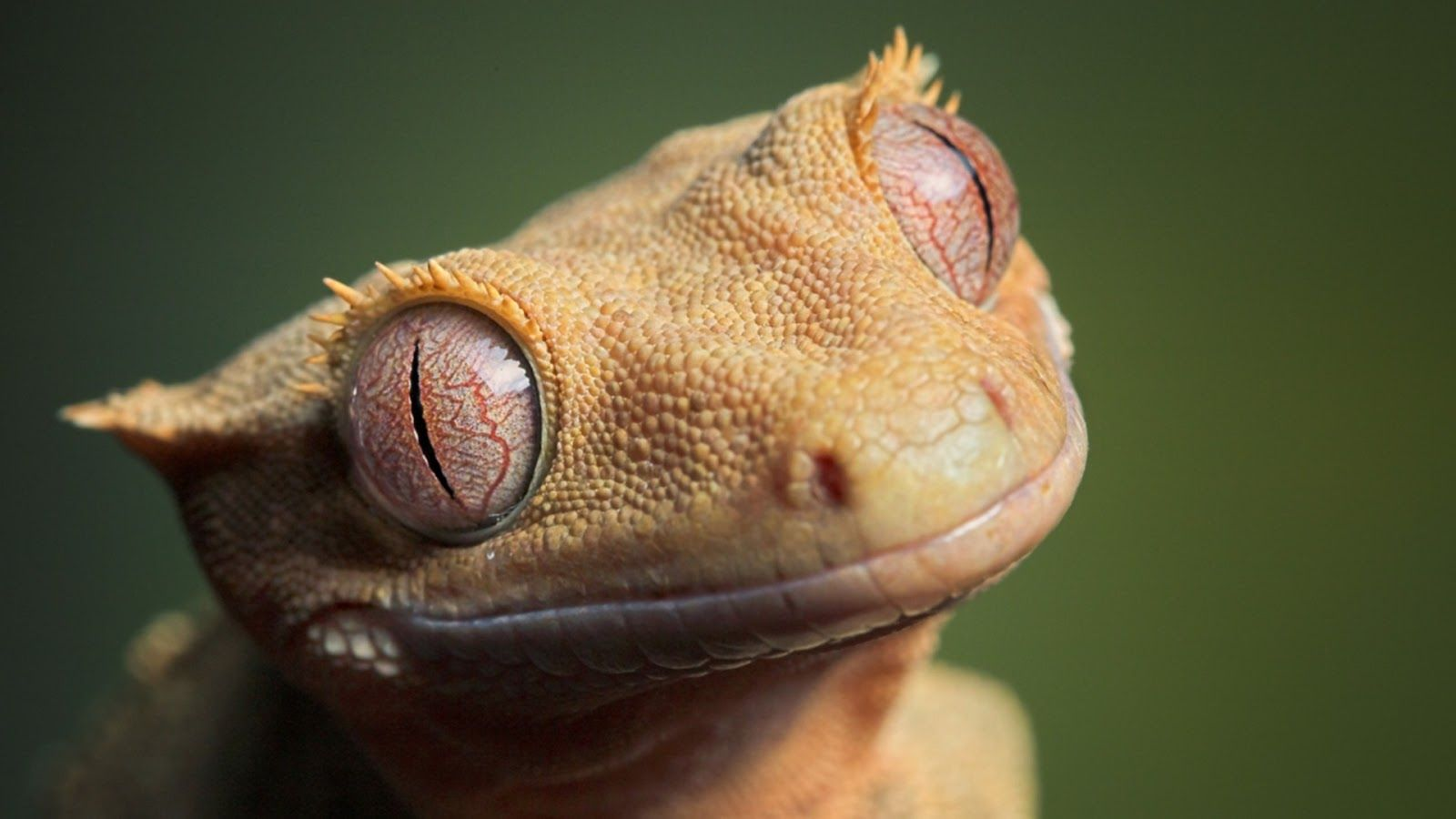 Beautiful Wallpaper: Reptiles fondo de pantalla hd, fondo de pantalla hd, reptil hd