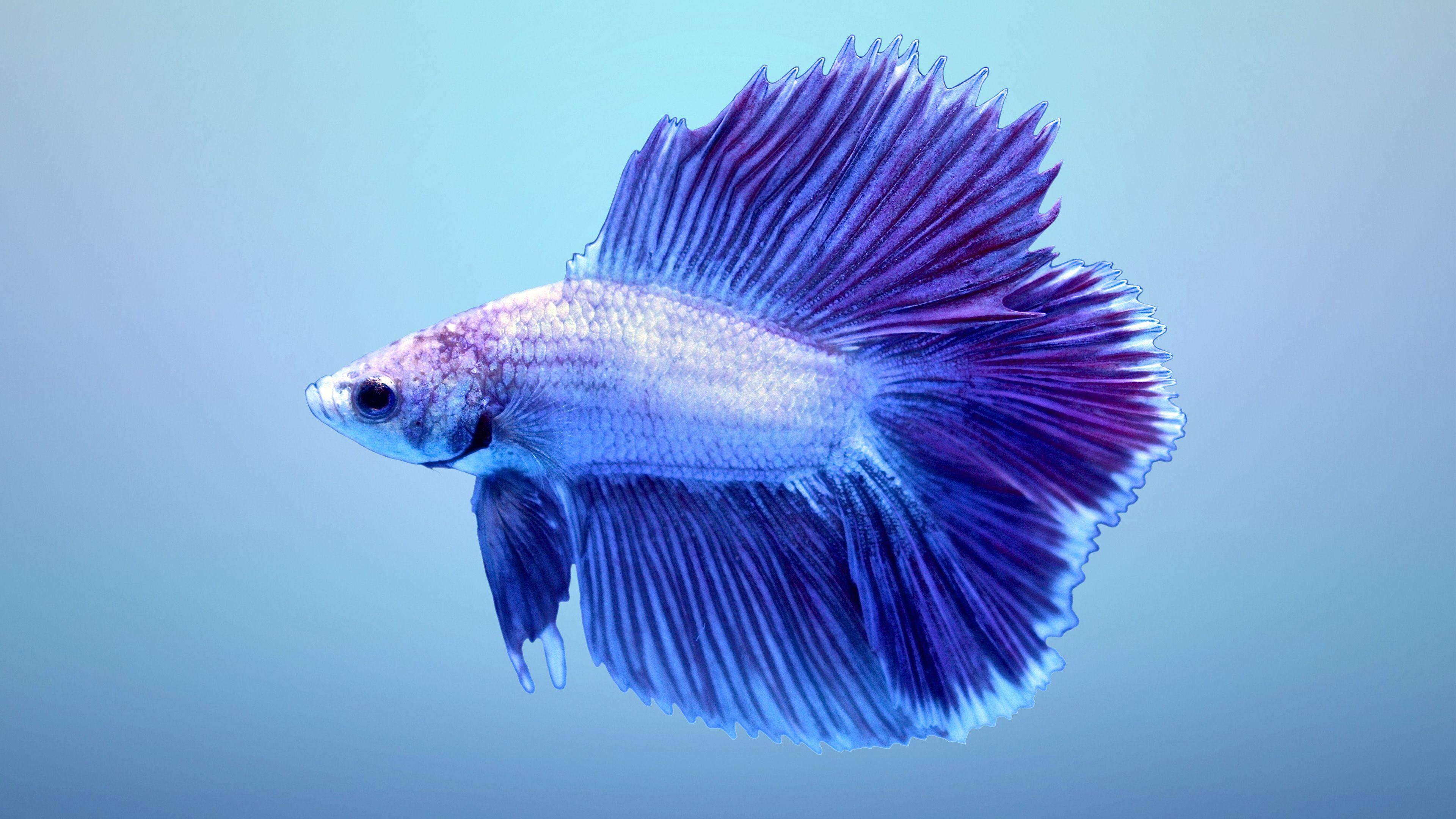 Betta Fish Wallpapers - Cueva de fondo