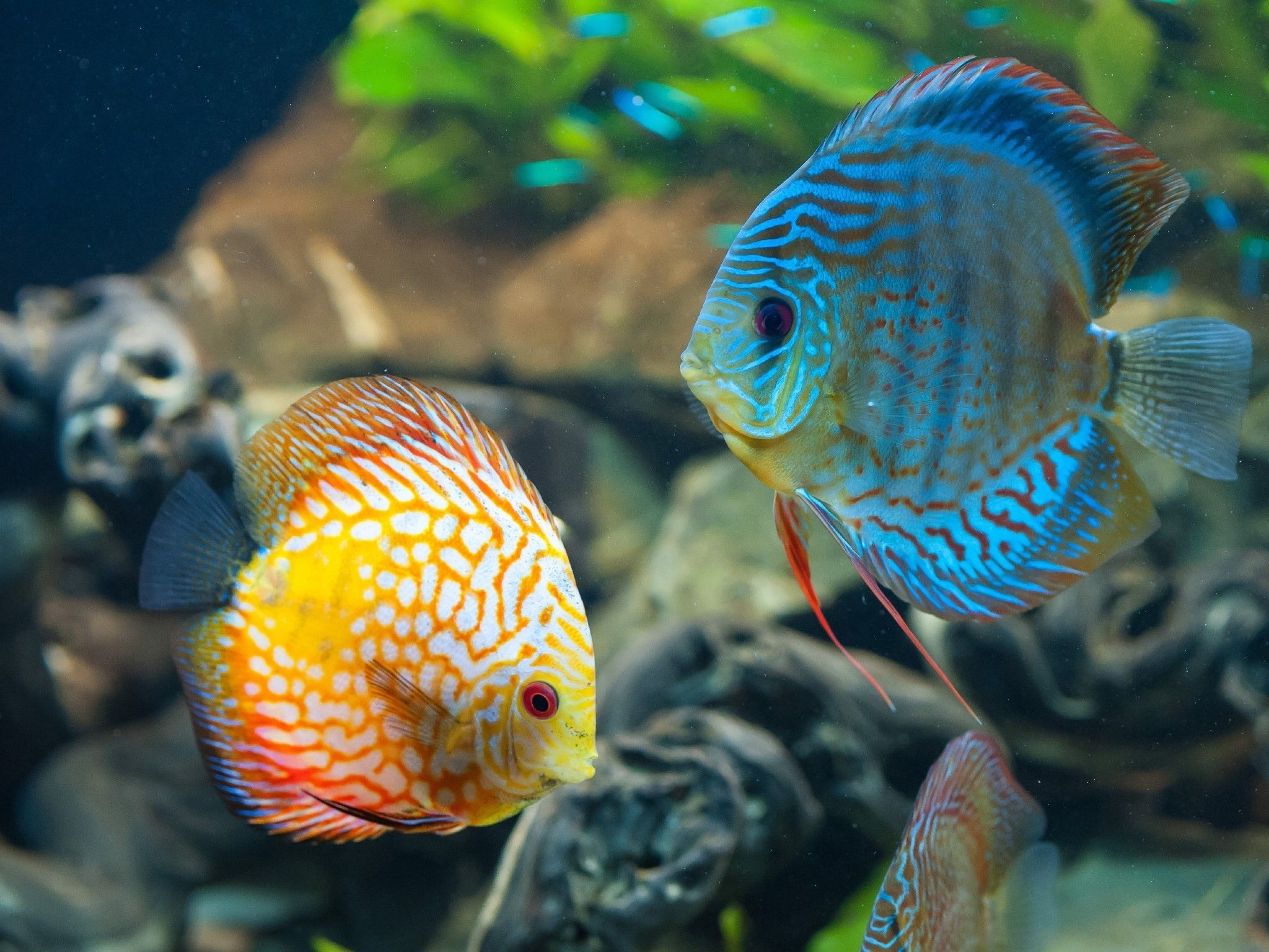 animales, peces, Discus Fish Wallpapers HD / Desktop y Mobile