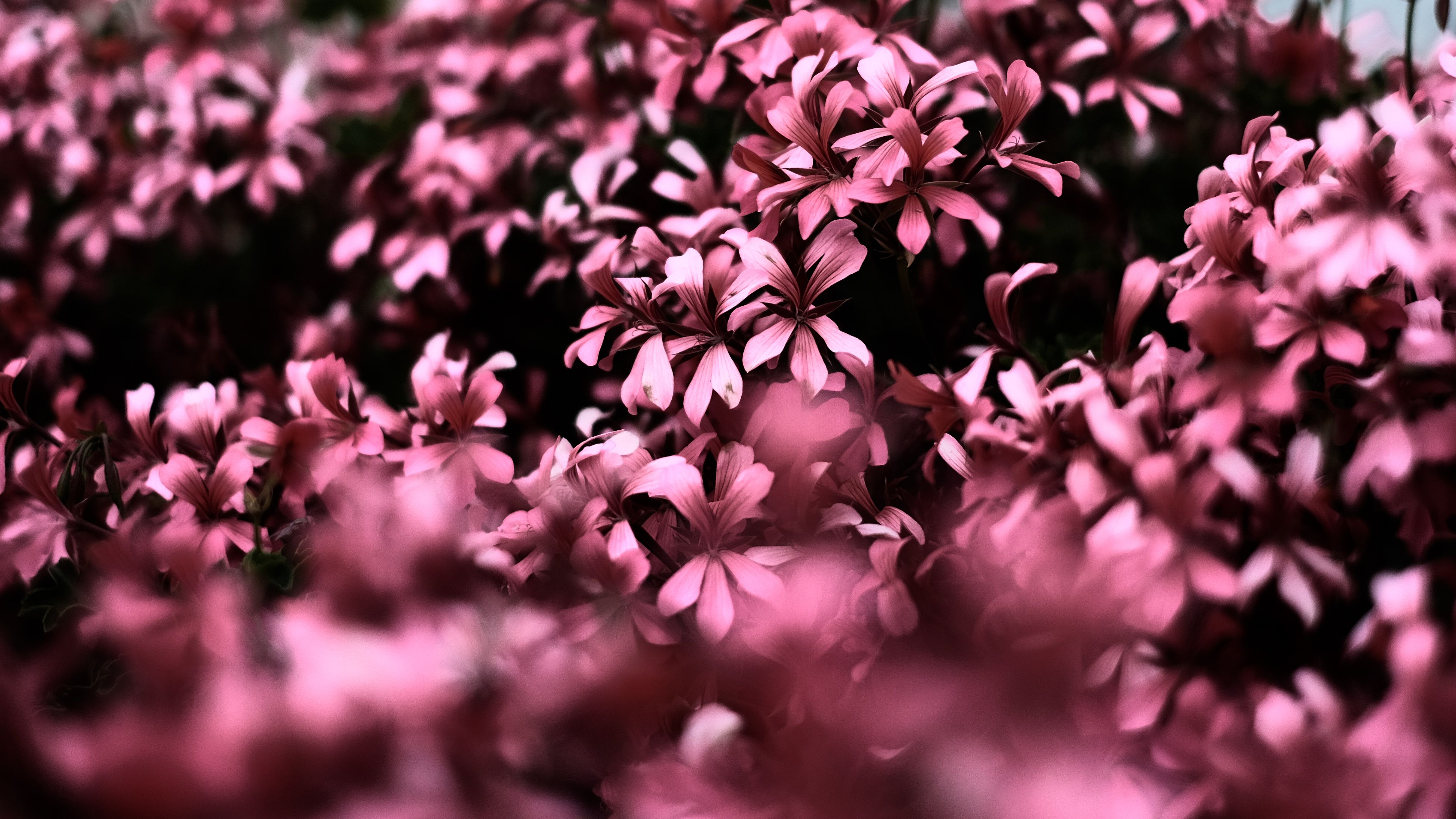 Pink Flowers Ultra Hd Blur 4k, HD Flowers, 4k Wallpapers, Images