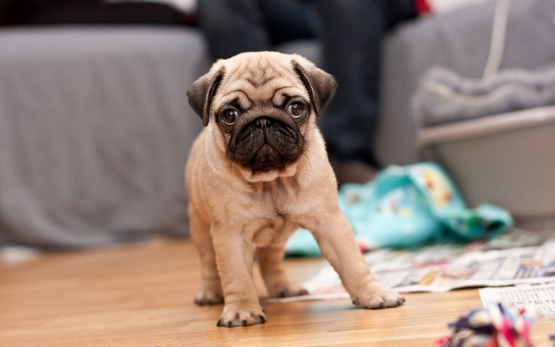 pug puppy hd wallpaper gratis, Descargar, HD Wallpapers, Dogs, Puppy, Cute