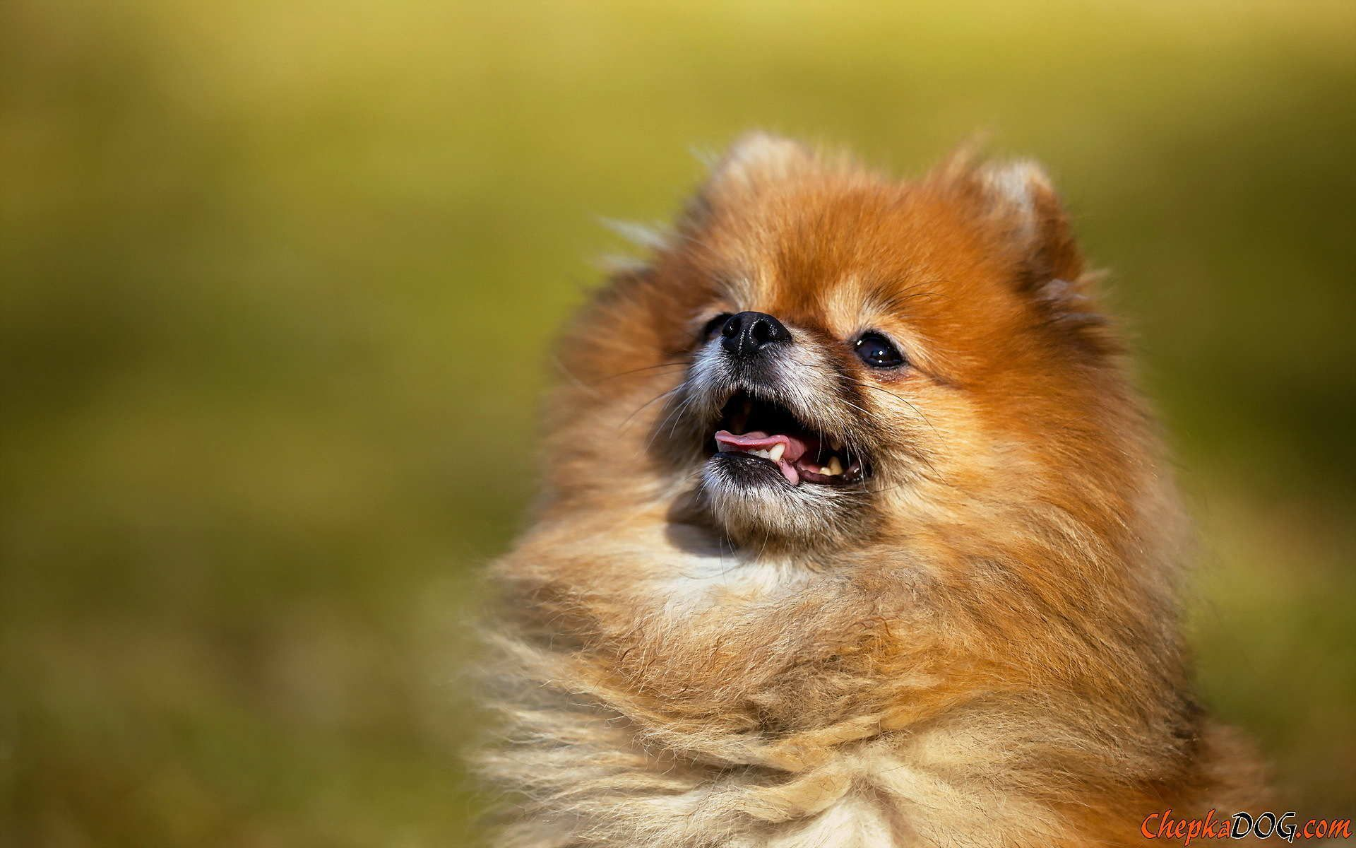 Hermosos fondos de pantalla de Pomerania Google Search Doggies To Love Cute