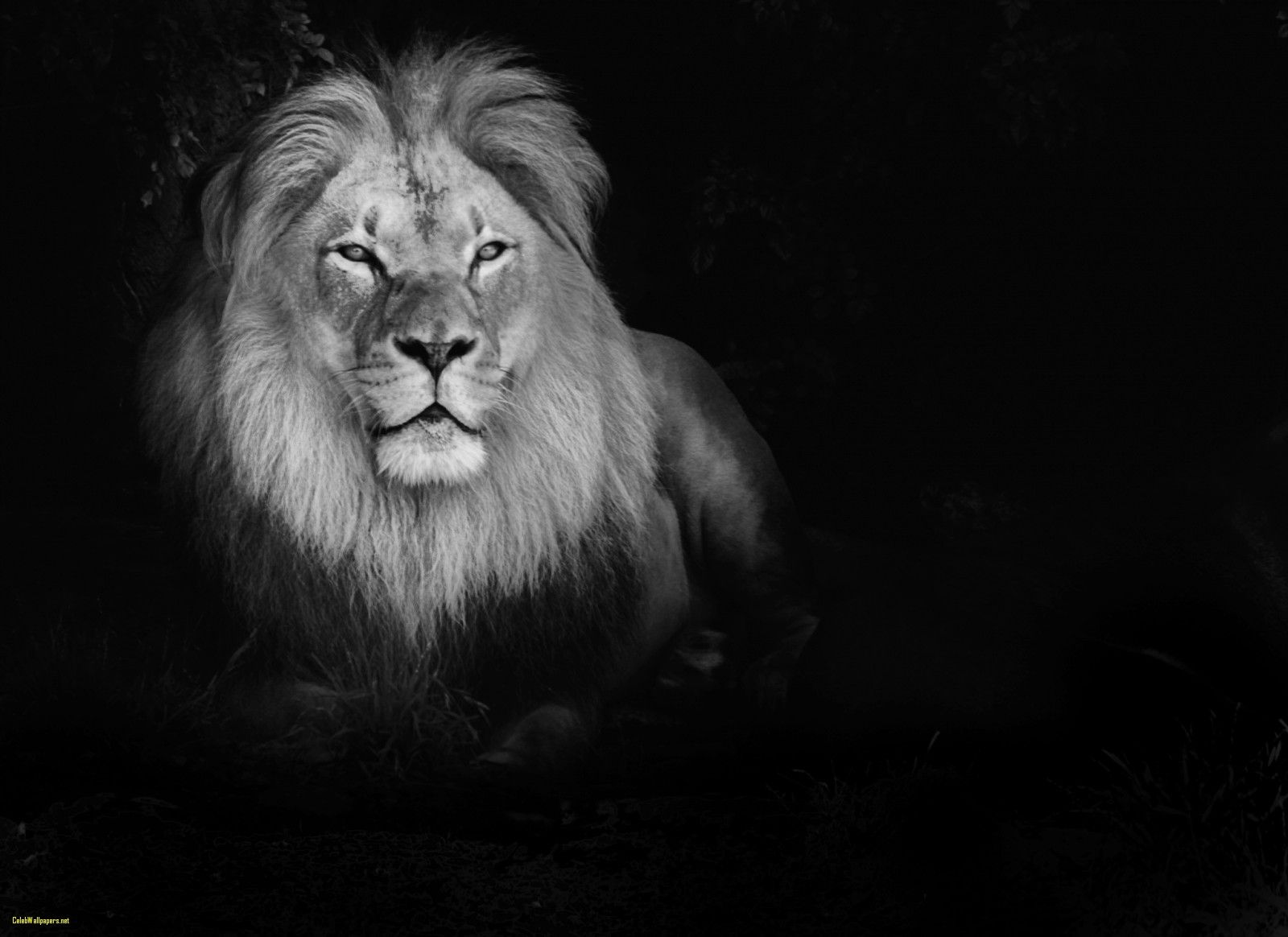 White Lion Wallpaper 27 - 1600 X 1164 | stmed.net