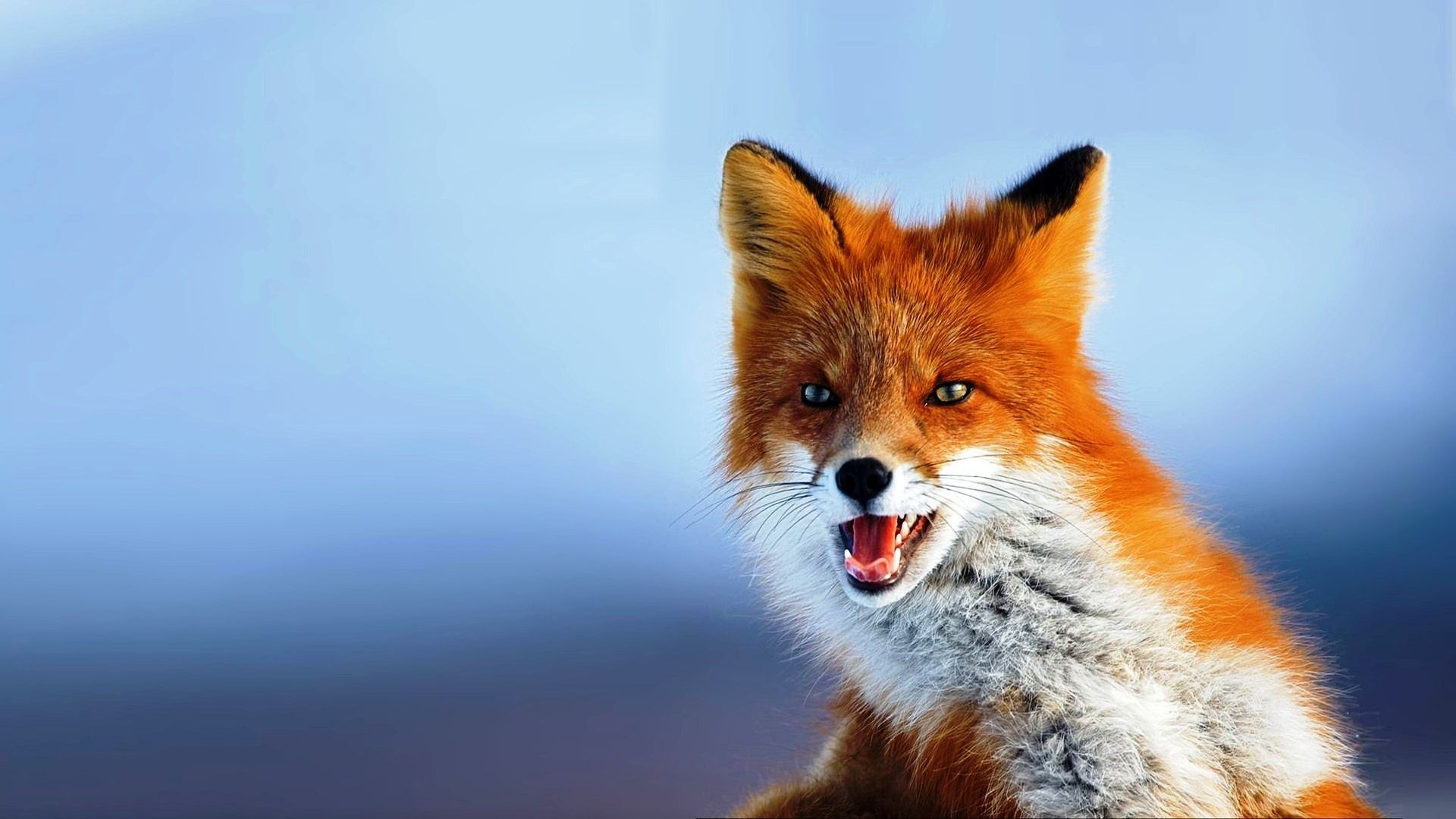 Fox Fondos de pantalla HD | HD Wallpapers Fit | Animales | Zorro mascota, animal