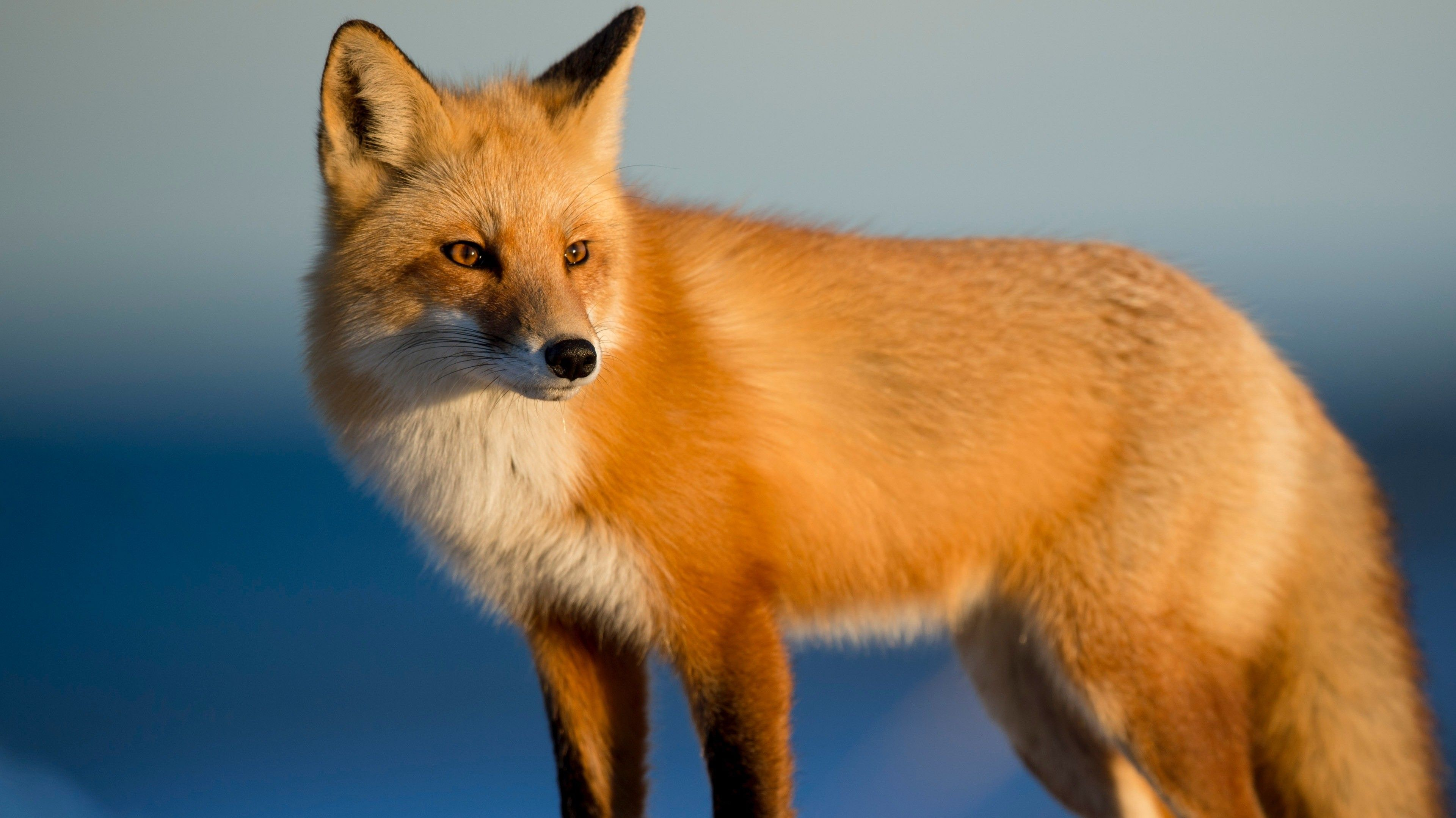 Animal Fox 4K Fondo de pantalla | HD Wallpapers