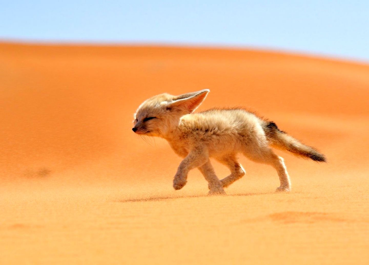 Fennec Fox Fondos de pantalla | Wallpapers Supreme