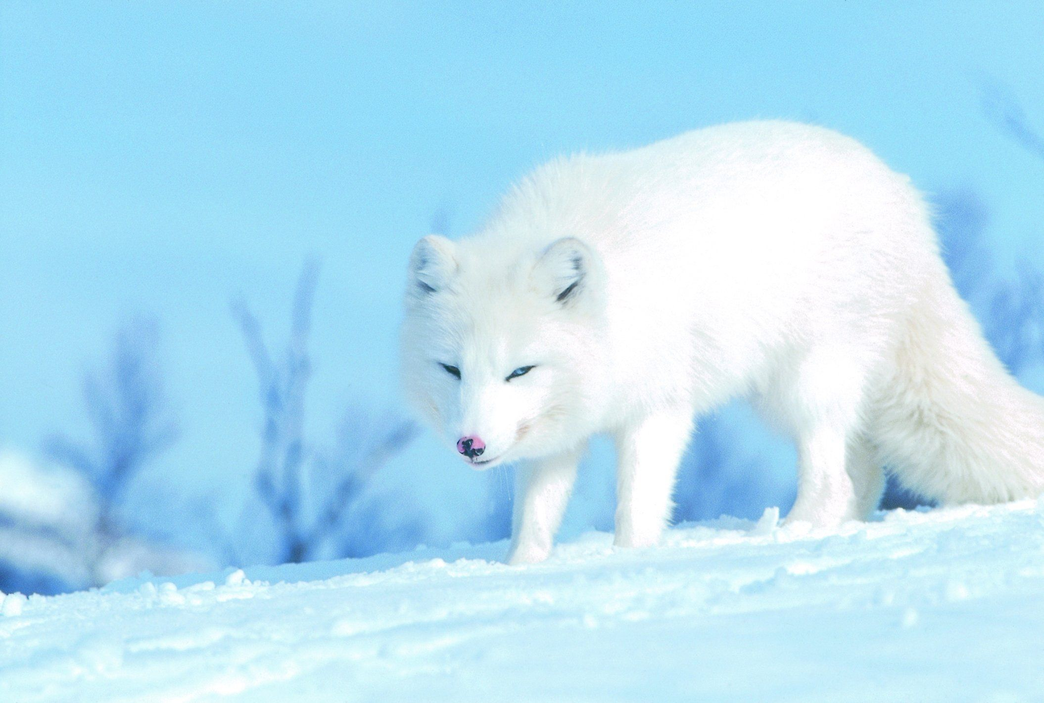 Fondo de pantalla de Polar White Fox | 2110x1422 | ID: 58494 - WallpaperVortex.com