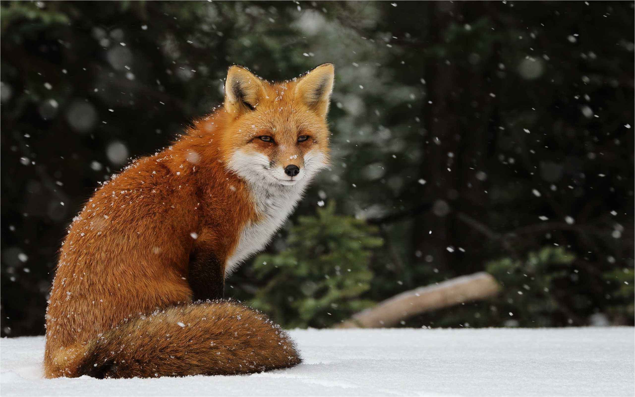 Fondos de Red Fox - Wallperio.com