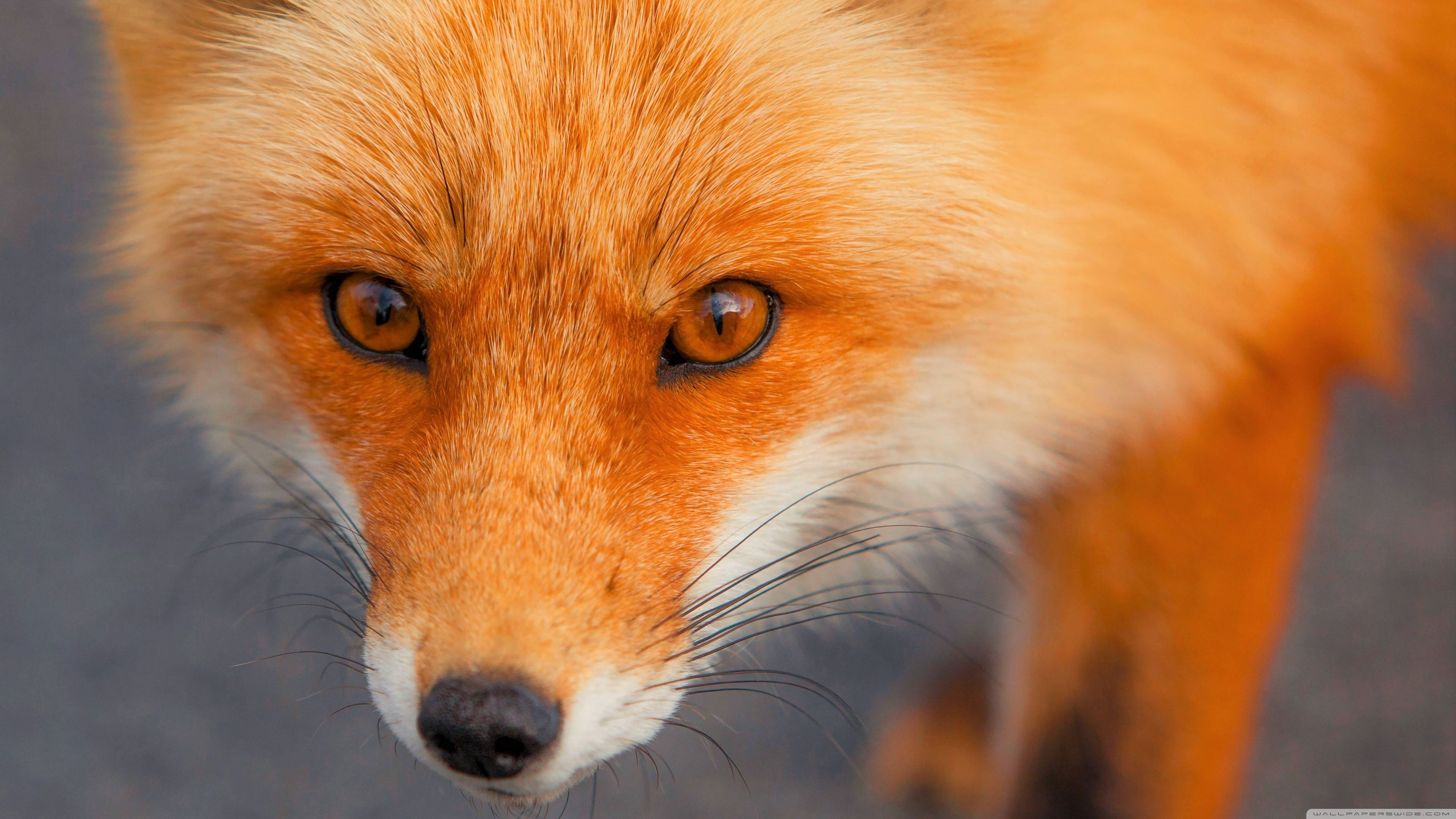 Red Fox Face ❤ 4K HD fondo de escritorio para 4K Ultra HD TV • Wide