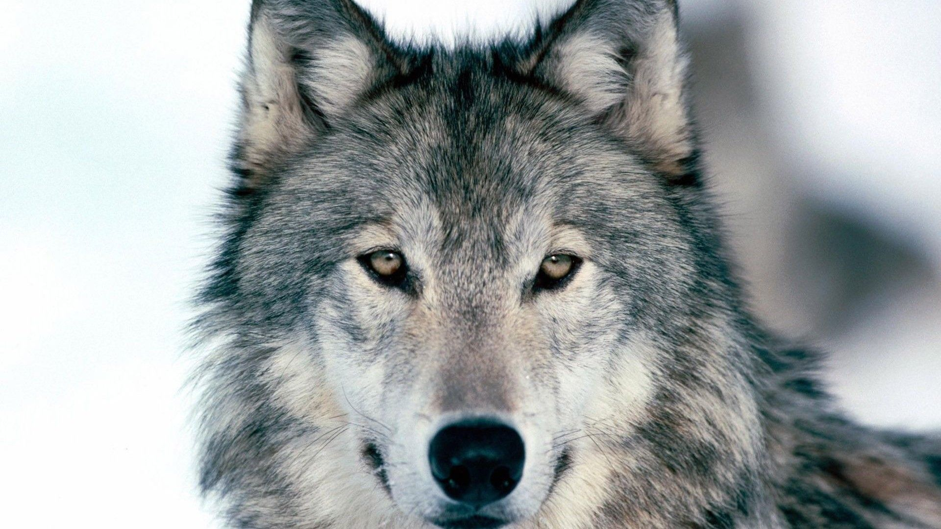 HD Wolf Wallpapers 1080p (71+ imágenes)