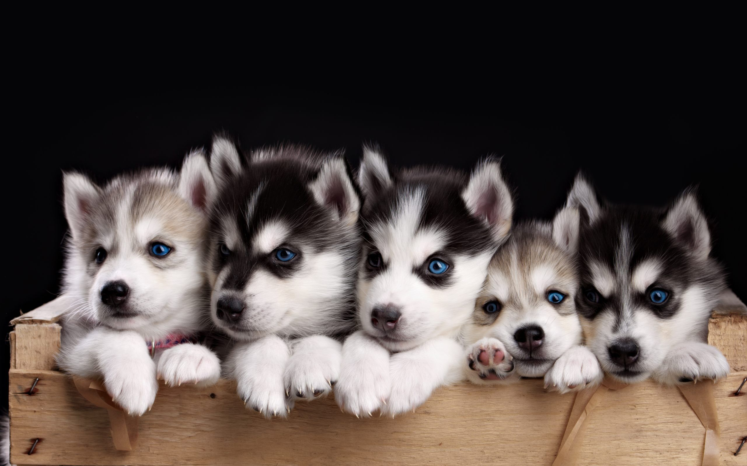 Husky Puppies Wallpapers PC # 5S141M1 | WallpapersExpert.com