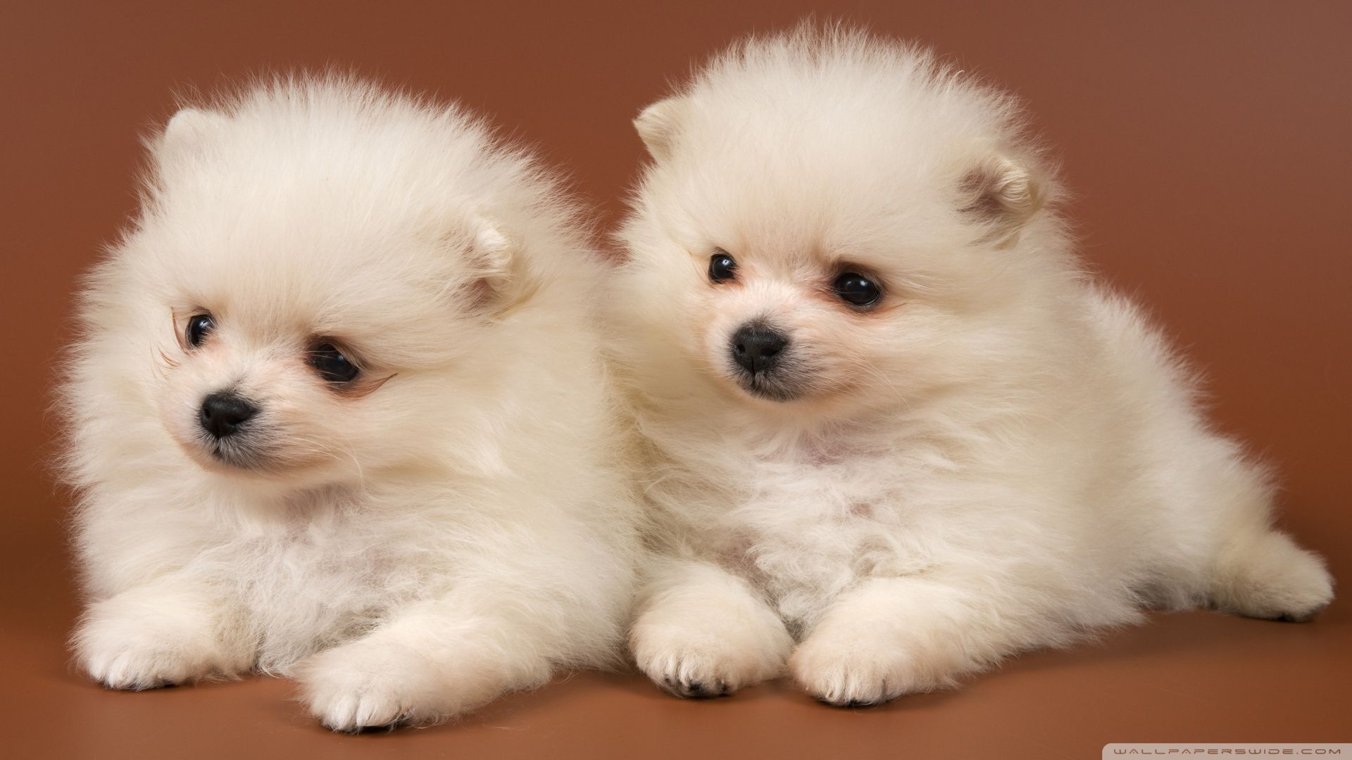 Pomeranian Puppies ❤ 4K HD Desktop Wallpaper para 4K Ultra HD TV