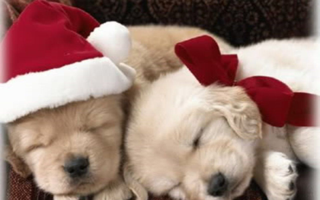 Christmas Puppy - Puppies fondo de pantalla (15897189) - fanpop
