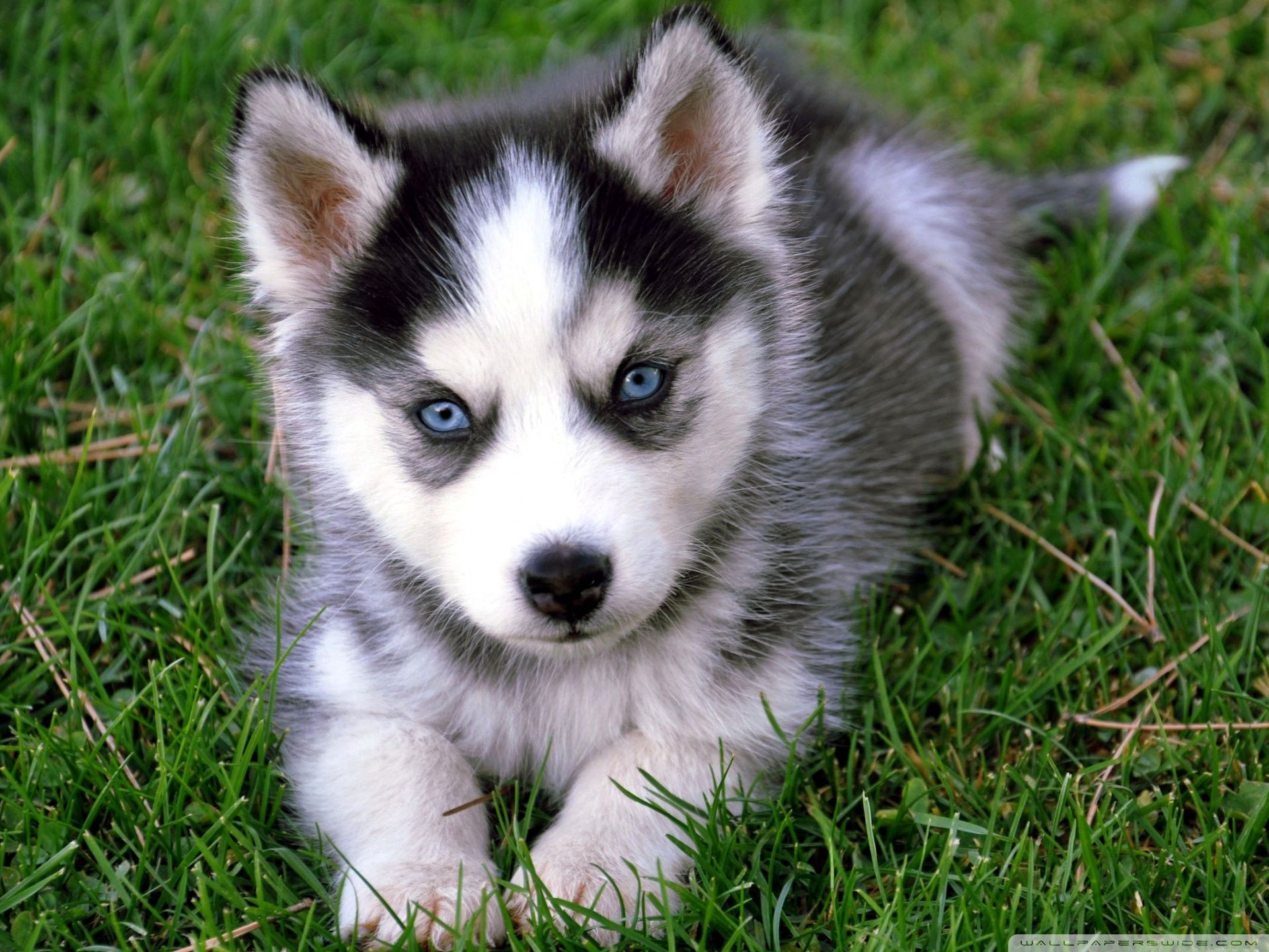 Husky Puppies Wallpapers Full HD # 4ZF9C6I | WallpapersExpert.com