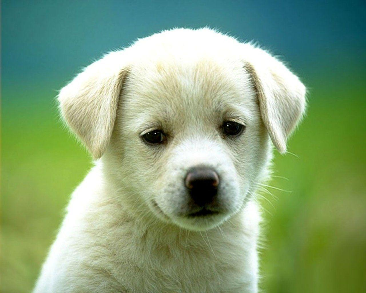 Puppy Wallpapers gratis