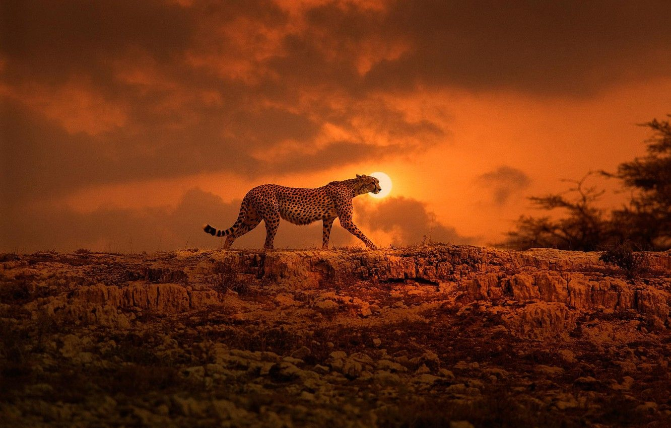 Wallpaper the sun, Cheetah, Africa, walk, big cat, Kenya images for